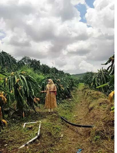 Draon fruit farm